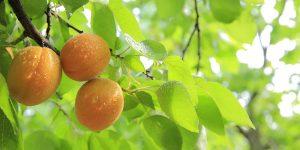 Беларусские персики, инновации в сельском хозяйстве