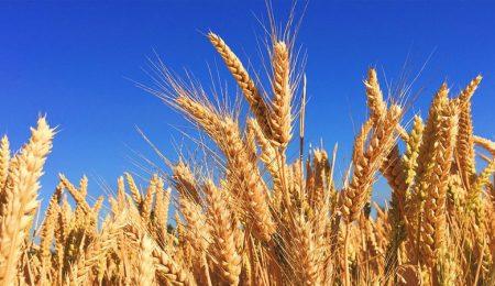 Уборочные сельскохозяйственные работы Беларуси, Озимый ячмень