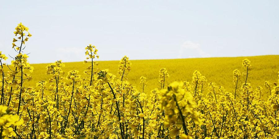 Сурепица, сельское хозяйство РБ