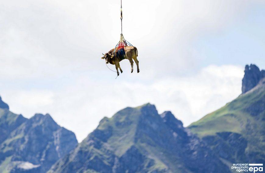 ФОТОФАКТ: раненую корову перевозят в Альпах