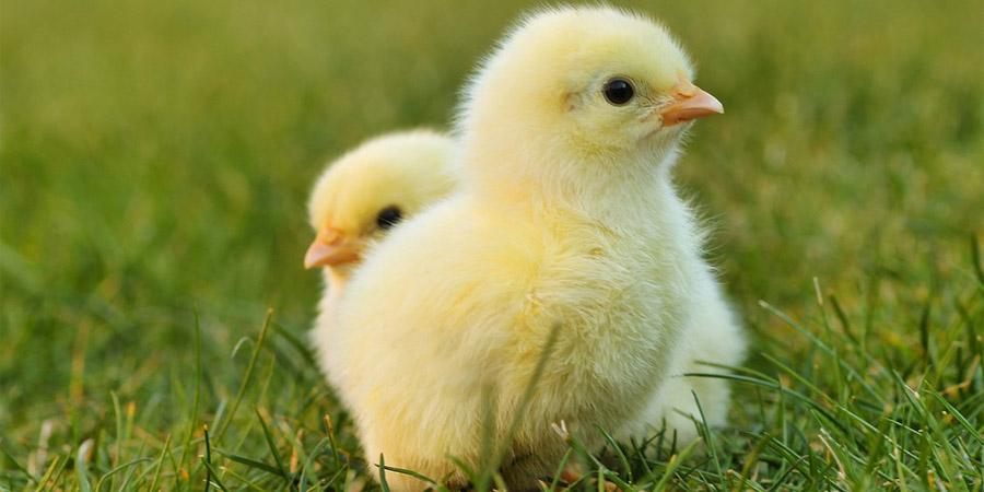 Синбиотики и стресс у птиц - Новости сельского хозяйства РБ