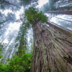 Cколько весят крупнейшие деревья в мире?