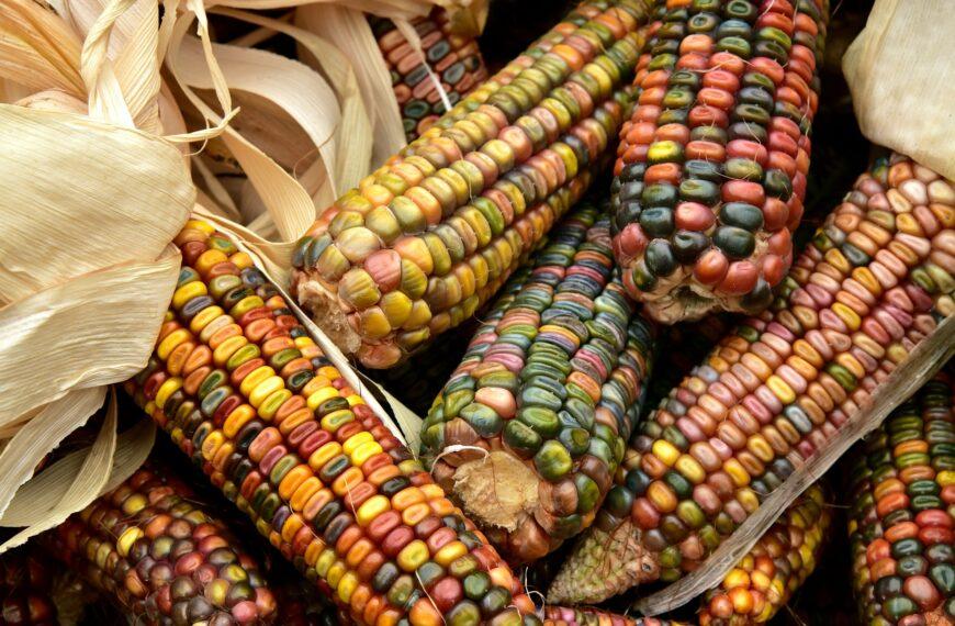 Кукуруза в Беларуси убрана с более чем 70% площадей