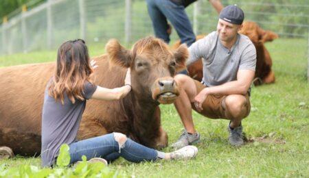 Обнимать корову - Борьба со стрессом - Новости сельского хозяйства Беларуси