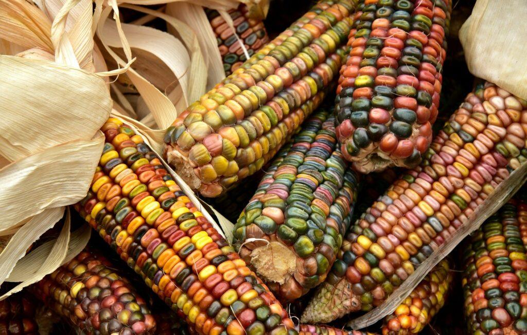 В Беларуси осталось убрать 6,5% площадей кукурузы