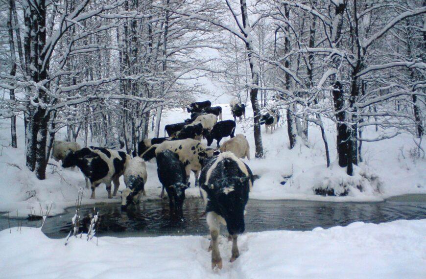Самые свободные коровы Беларуси воспитываются на принципах ненасилия