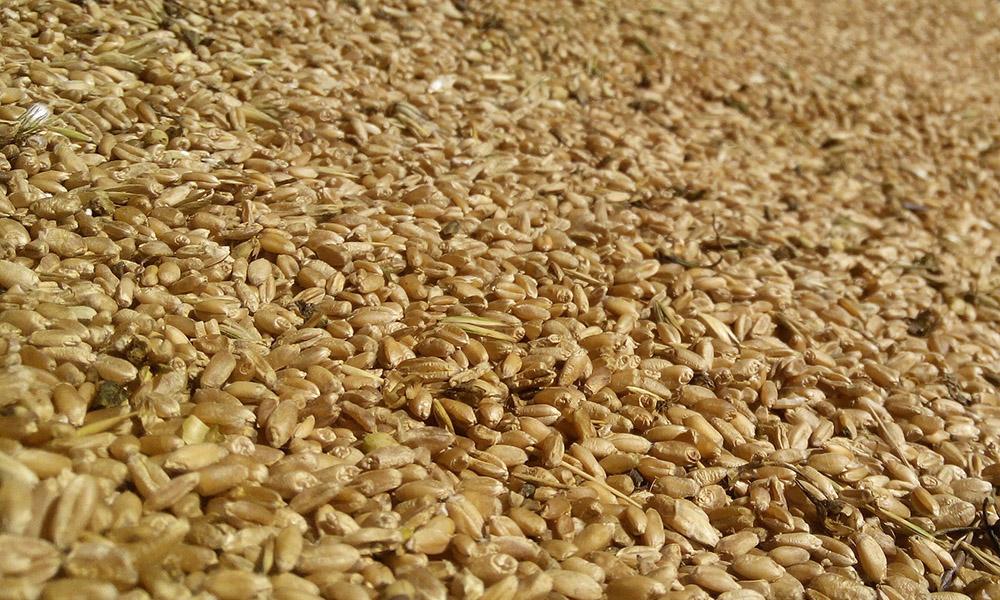 Хранение и защита зерна - Новости сельского хозяйства Беларуси