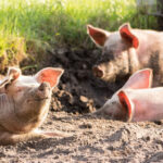 Huawei займется внедрением технологий искусственного интеллекта для модернизации свиноферм