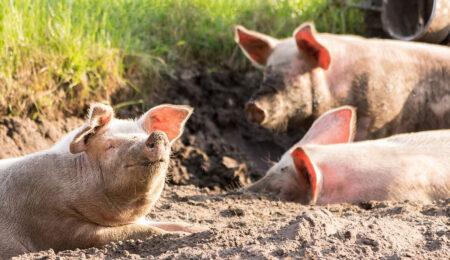 Свиньи и искусственный интеллект - Новости сельского хозяйства Беларуси