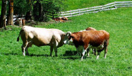 Коровы - Новости сельского хозяйства Беларуси и Мира
