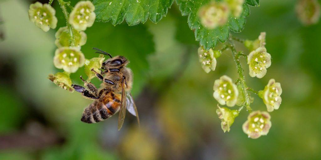 В Румынии вычислили формулу спасения вымирающих пчел
