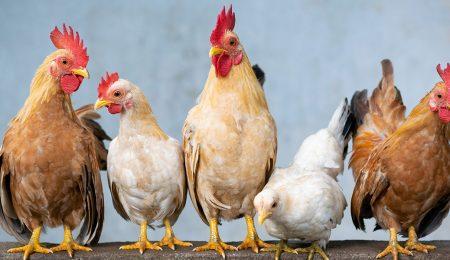 Домашняя птица - Новости сельского хозяйства Беларуси