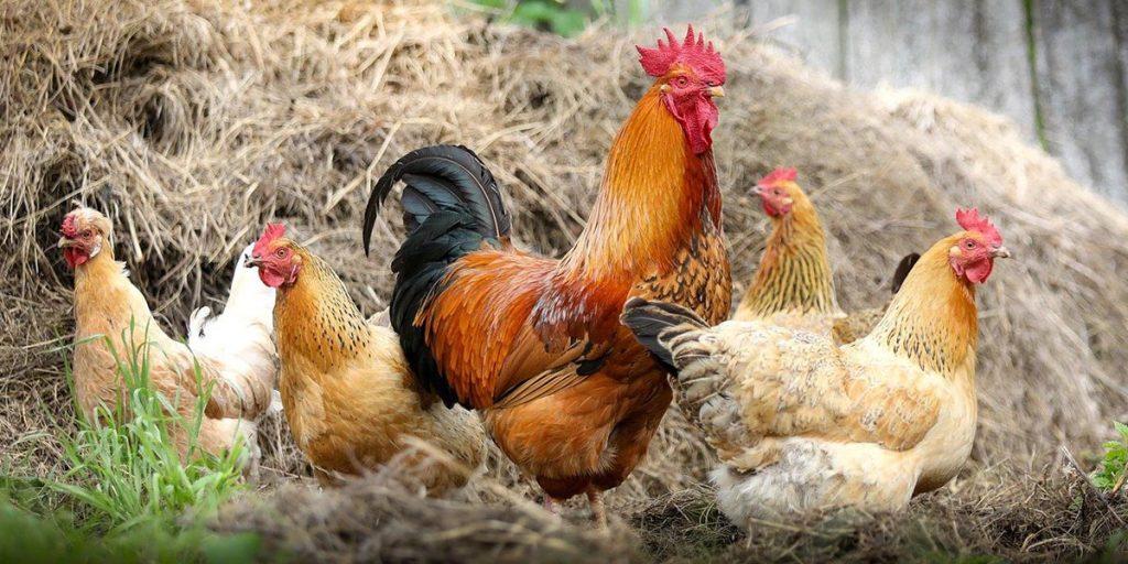 """""""Дождь"""" из мертвых птиц накрыл Францию. Есть ли опасность для домашней птицы?"""