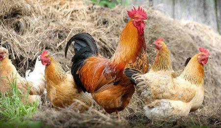 Домашняя птица - Новости сельского хозяйства