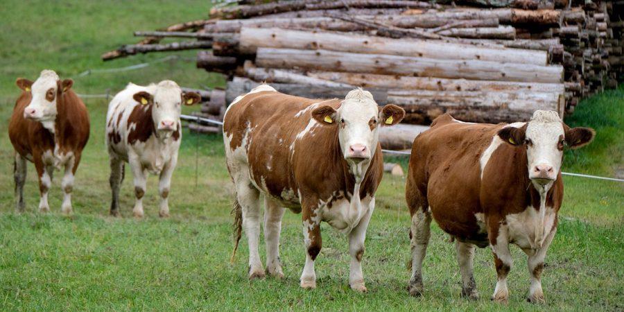 Коровы и стимулятор роста - Новости сельского хозяйства