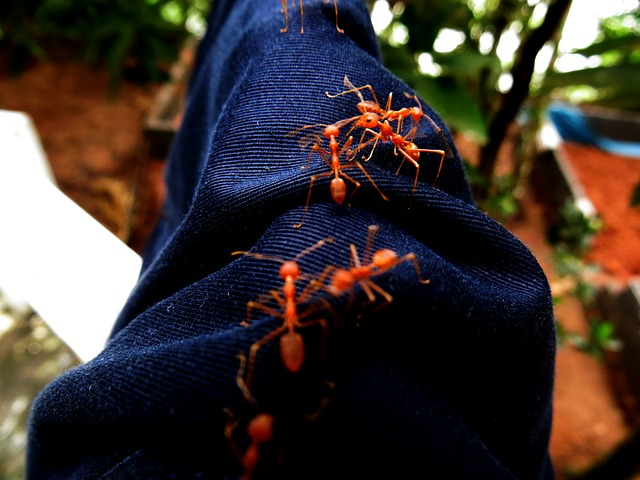 Красные муравьи - Новости сельского хозяйства