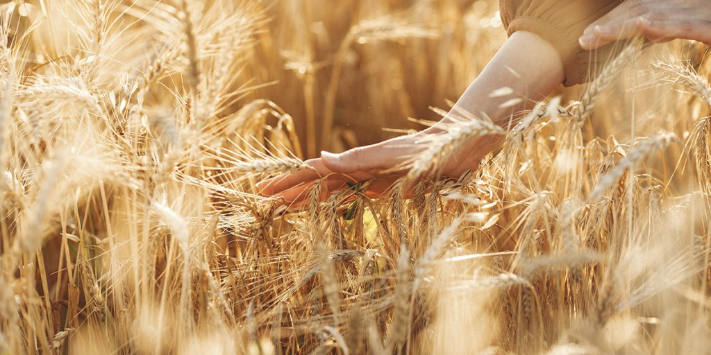 Bayer и RAGT  совместно внедряют новейшую систему производства гибридной пшеницы