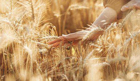Пшеница - Новости сельского хозяйства