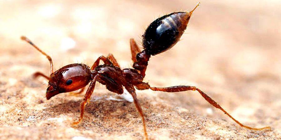 Красные огненные муравьи в Китае - Новости сельского хозяйства