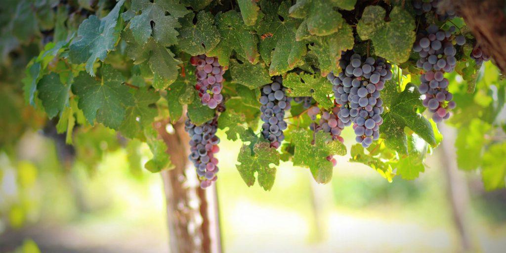 Европейские виноградники подморозило: производство вина сократится на 50-100%. Пострадали и другие сельскохозяйственные культуры