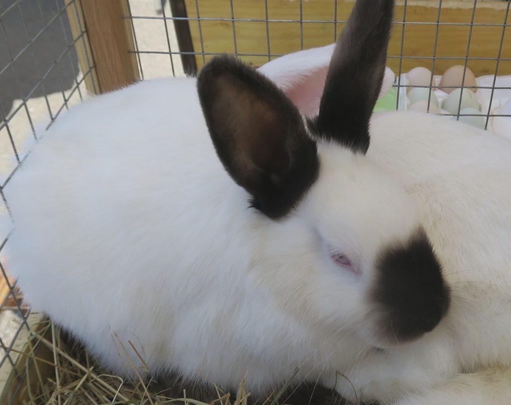 Кролики - Новости сельского хозяйства Беларуси