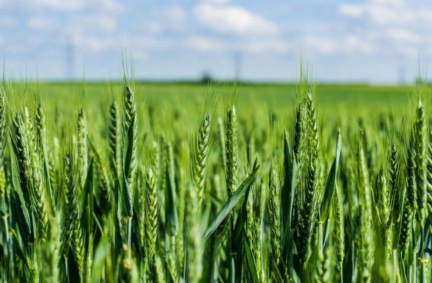 В США разработали два новых сорта  пшеницы высокой урожайности