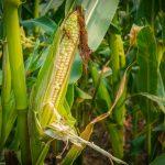 Развитие кукурузы на белорусских полях будет ухудшаться из-за жаркой погоды? Прогноз Белгидромет