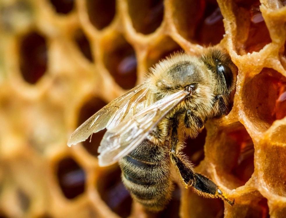 В ЕС планируется ввести строгие ограничения по использованию пестицидов. Причина: стремительное вымирание пчелосемей