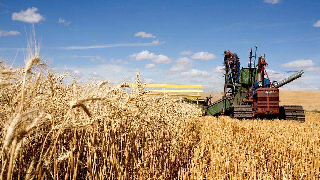 Румыния стремится к абсолютному рекорду сбора урожая пшеницы в этом году – 9,7 млн тонн